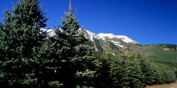 colorado_blue_spruce_in_rmtl_yard