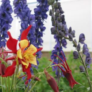monks_hood_columbine_perennial