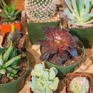 succulents_cactus